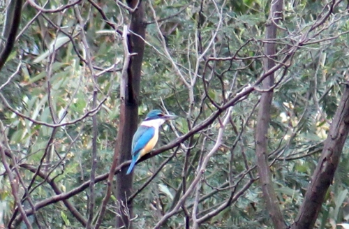 Sacred Kingfisher at Fawkner