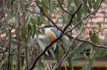 Sacred Kingfisher seen on a bird survey at Merri Creek in Fawkner