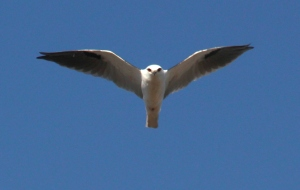 bird of prey over Bababi Djinanang (Jukes Rd Grasslands)