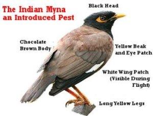 Common-myna=invasive-pest